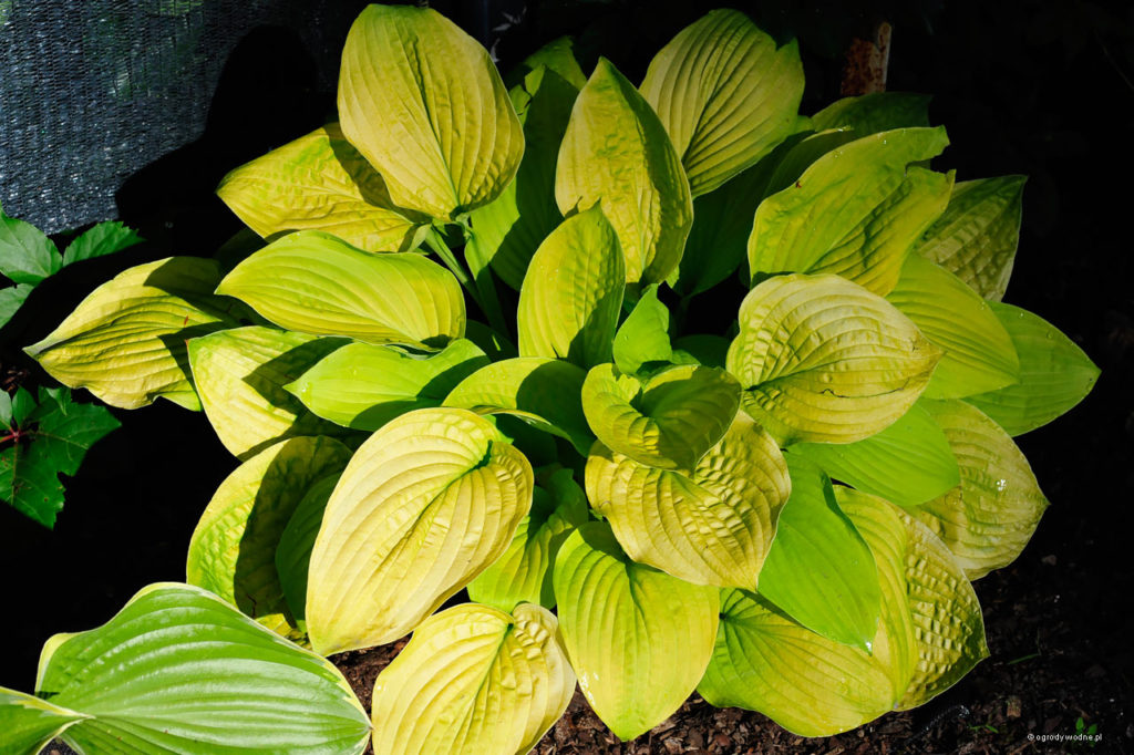"Hosta ""August Moon"", funkia"