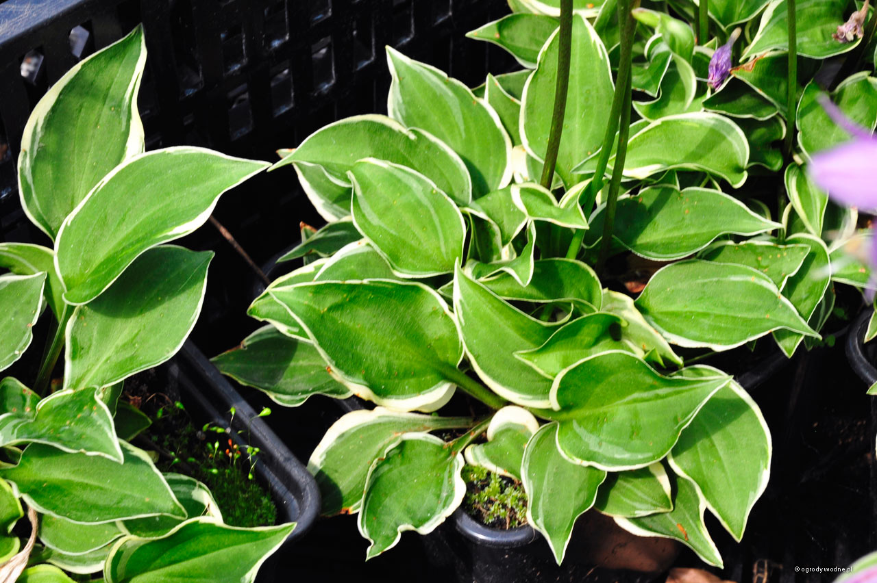 "Hosta ""Baby Booties"", funkia"