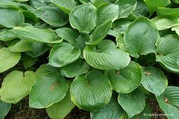 "Hosta ""Beauty Substance"""