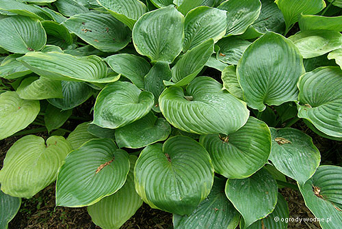 "Hosta ""Beauty Substance"", funkia"
