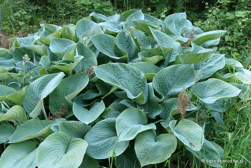 "Hosta ""Big Daddy"", funkia"