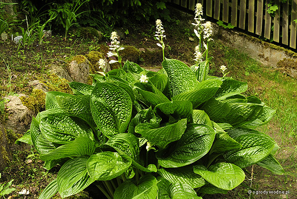 "Hosta ""Black Hills"", funkia"