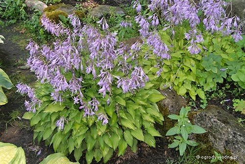 "Hosta ""Blond Elf"", funkia"