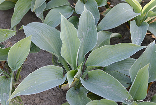 "Hosta ""Bressingham Blue"", funkia"