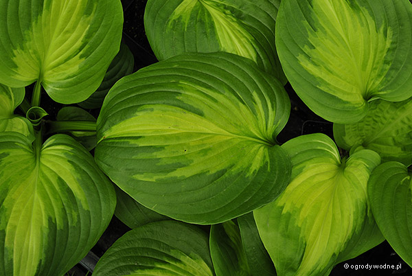 "Hosta ""Cathedral Windows"", funkia"