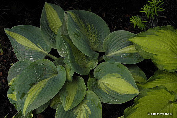 "Hosta ""Chain Lightning"", funkia"