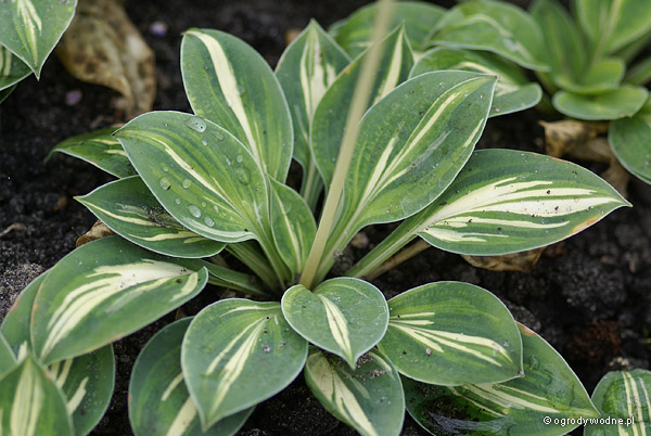 "Hosta ""Cherish"", funkia"