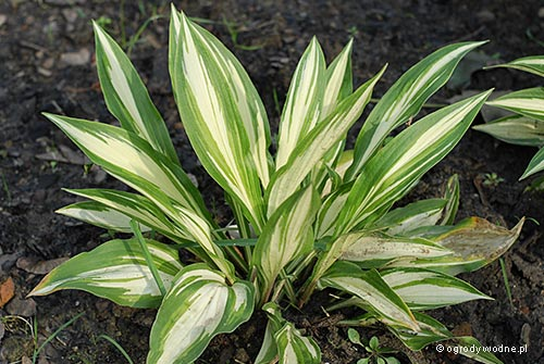 "Hosta ""Cherry Berry"", funkia"