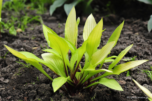 "Hosta ""Cherry Tart"", funkia"