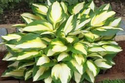 "Hosta ""Color Festival"""