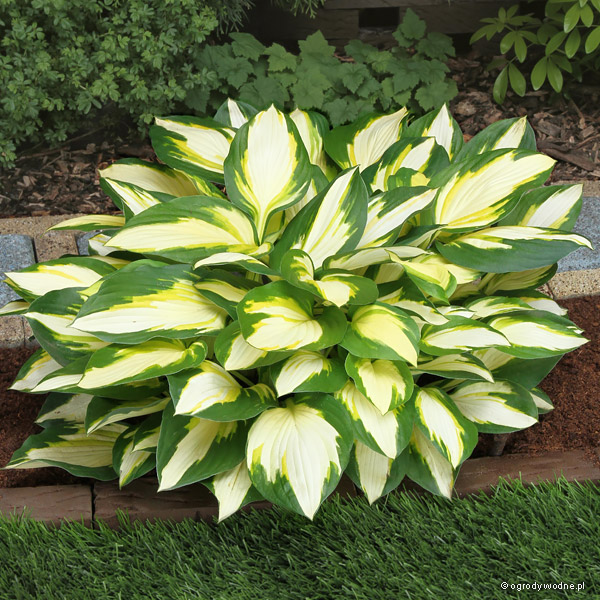 "Hosta ""Color Festival"", funkia"