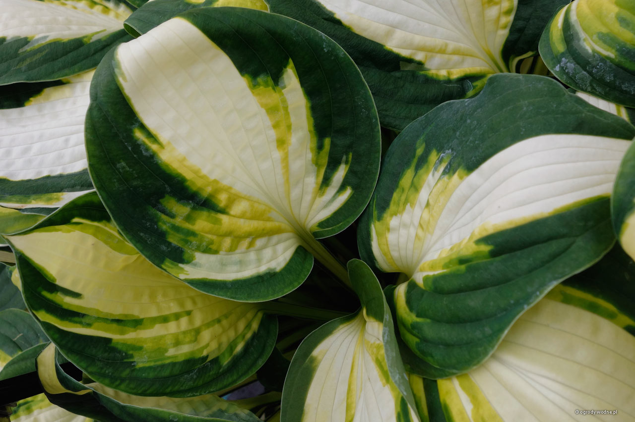 "Hosta ""Color Festival"", liść"