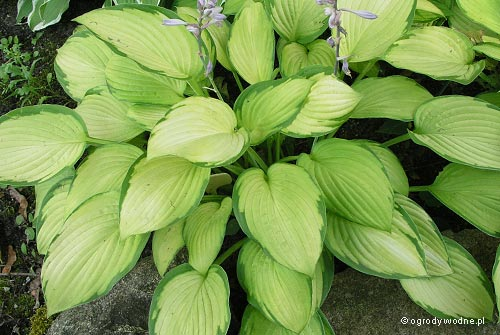 "Hosta ""Color Glory"", funkia"