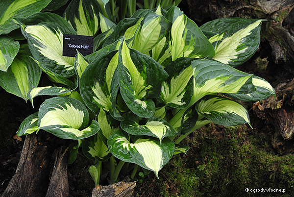 "Hosta ""Colored Hulk"", funkia"