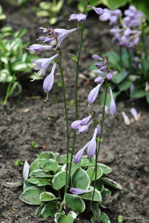 "Hosta ""Country Mouse"", kwiat"