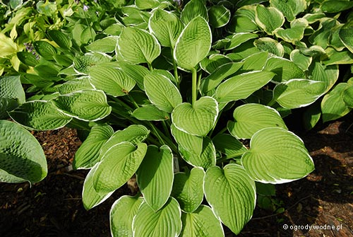 "Hosta ""Crowned Imperial"", funkia"