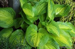 "Hosta ""Dance With Me"""
