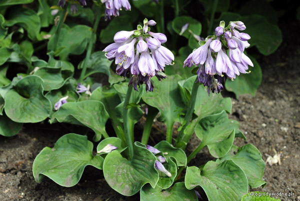 "Hosta ""Dancing Mouse"", funkia"