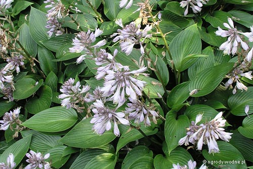 "Hosta ""Devon Green"", funkia"
