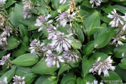 "Hosta ""Devon Green"""