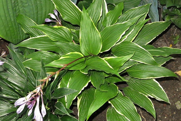 "Hosta ""Dragon Warrior"", funkia"