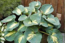 "Hosta ""Dream Weaver"""