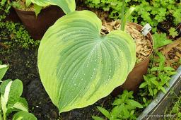 "Hosta ""Earth Angel"""