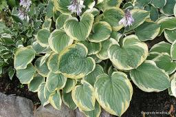 "Hosta ""El Capitan"""