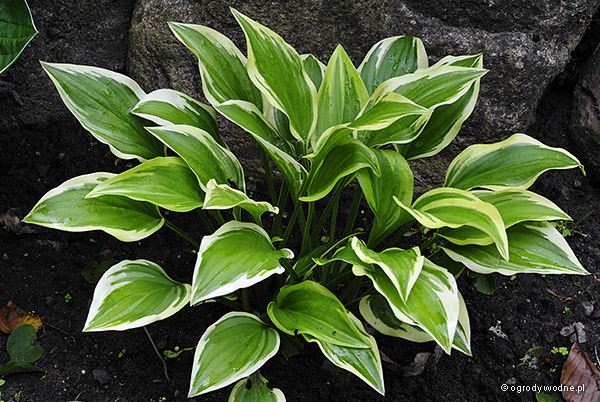 "Hosta ""Emily Dickinson"", funkia"