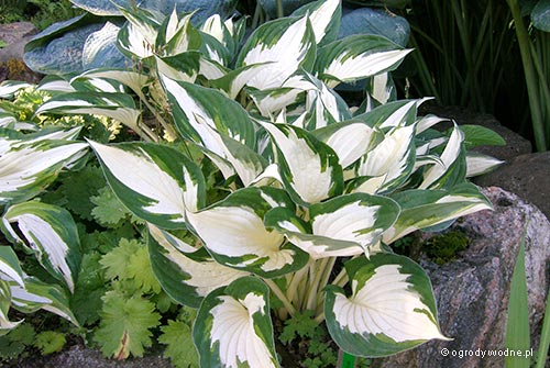 "Hosta ""Fire and Ice"", funkia"