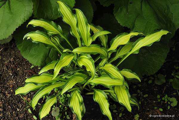 "Hosta ""First Mate"", funkia"