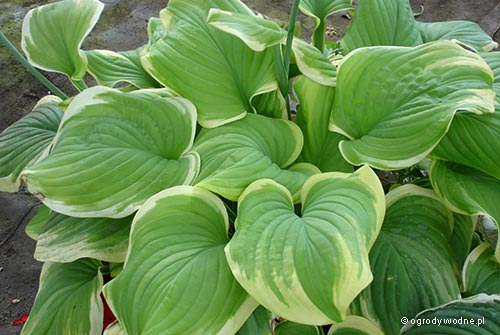 "Hosta ""Fragrant Bouquet"", funkia"