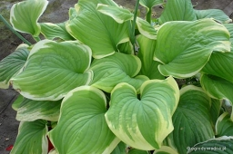 "Hosta ""Fragrant Bouquet"""