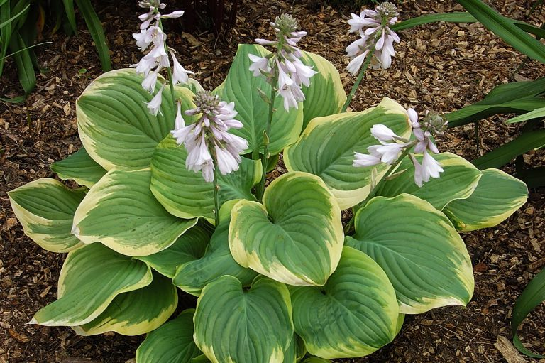 "Hosta ""Fragrant Dream"""