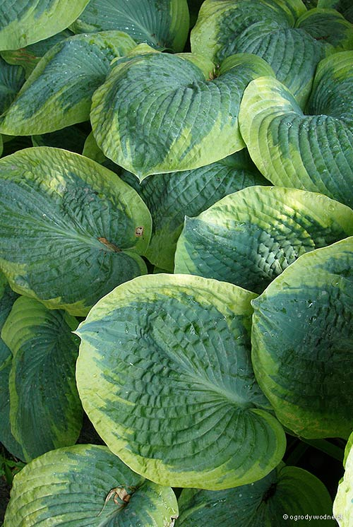 "Hosta ""Frances Williams"", funkia"
