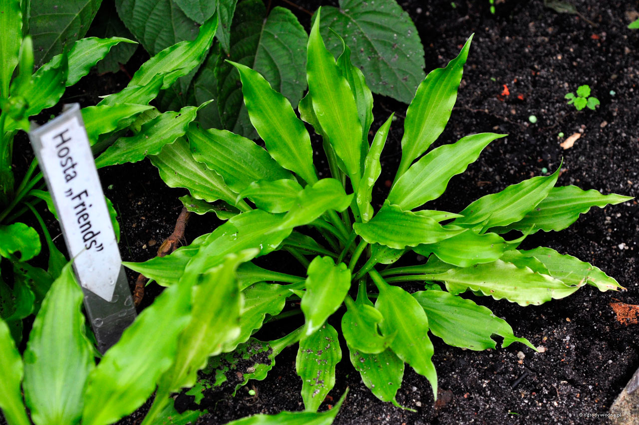 "Hosta ""Friends"", funkia"