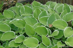"Hosta ""Frosted Jade"""