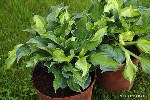 "Hosta ""Golden Meadows"", funkia"