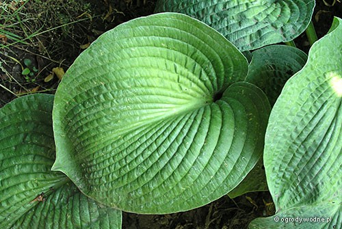 "Hosta ""Gray Cole"", funkia"