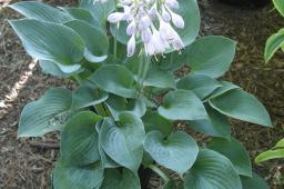 "Hosta ""Hadspen Blue"""