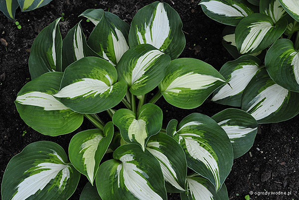 "Hosta ""Half and Half"", funkia"