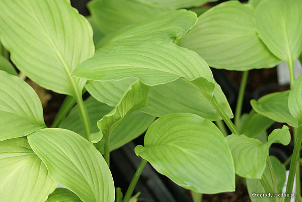 "Hosta ""Honeybells"", funkia"