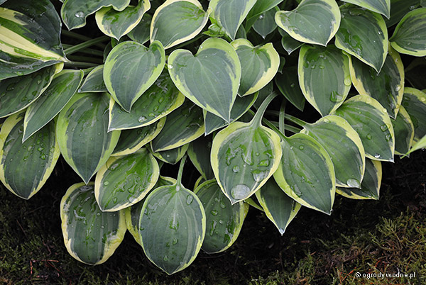 "Hosta ""Hush Puppy"", funkia"