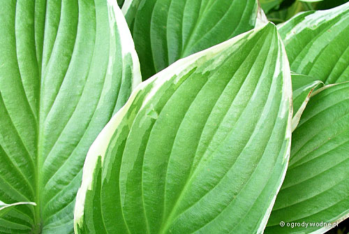 "Hosta ""Iron Gate Glamour"", funkia"