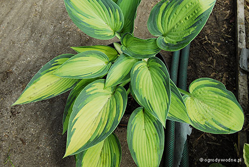 "Hosta ""June"", funkia"