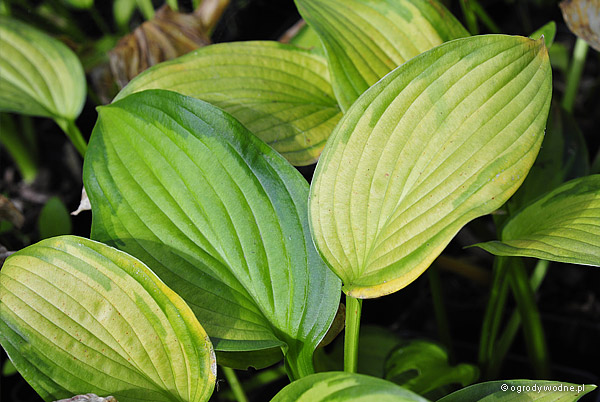 "Hosta ""Just So"", funkia"
