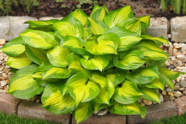 "Hosta ""Lakeside Banana Bay"", funkia"