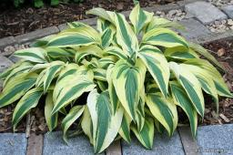 "Hosta ""Lakeside Dragonfly"""