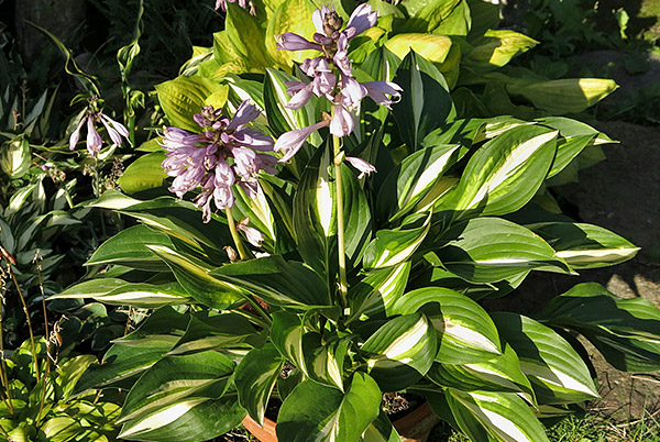"Hosta ""Lakeside Little Tuft"", funkia"