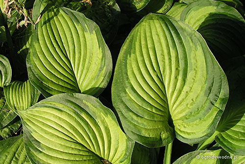 "Hosta ""Lunar Orbit"", funkia"